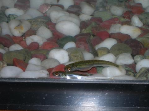 2月14日のサケの稚魚2匹