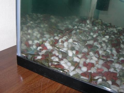 2月15日のサケの稚魚